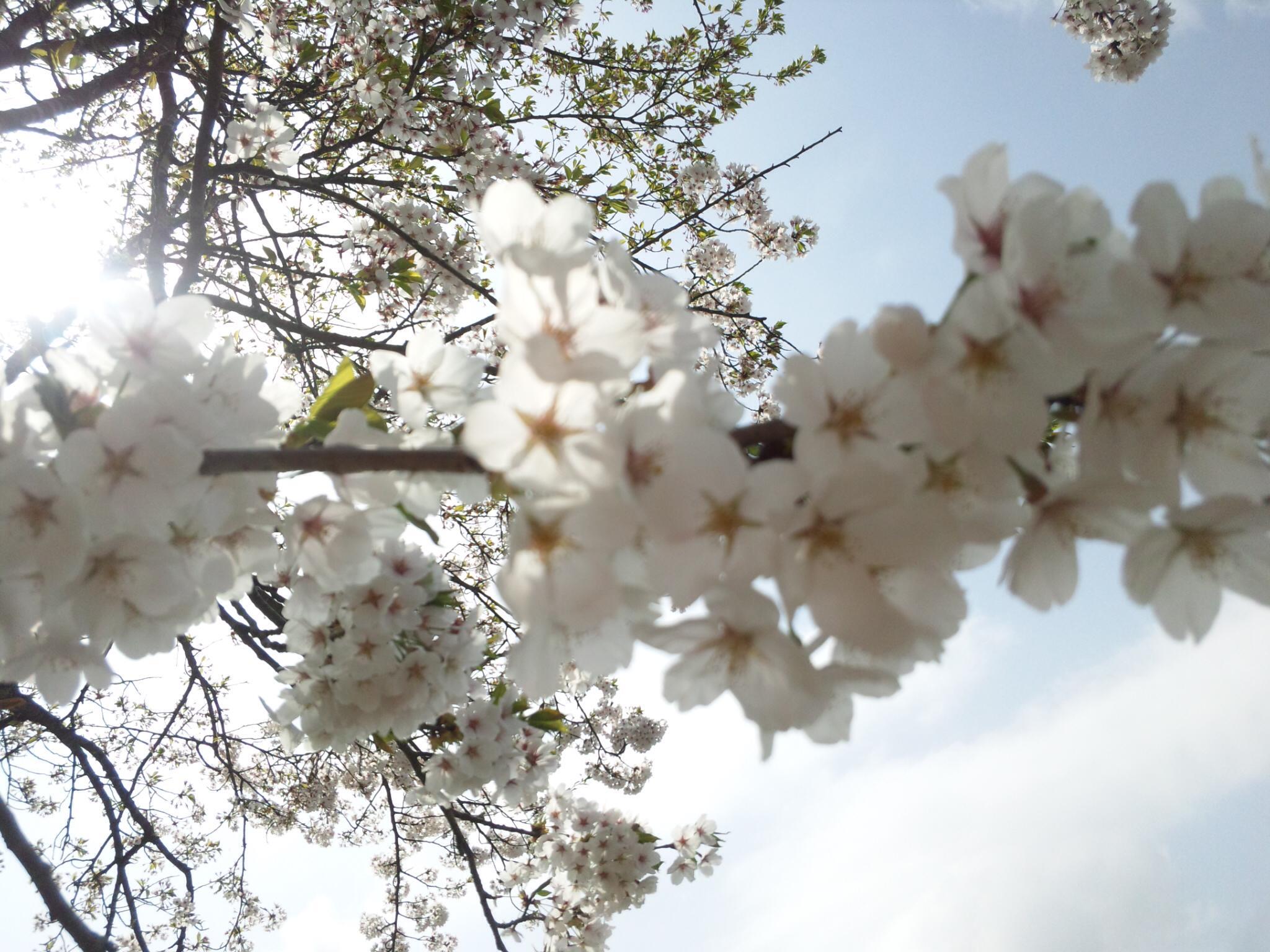 新潟 G,W,の桜